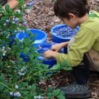 [CREDIT: Rocky Point Blueberry Farm] The weather is shaping up nicely this weekend for many outdoor activities, including blueberry picking at Rocky Point Blueberry Farm.